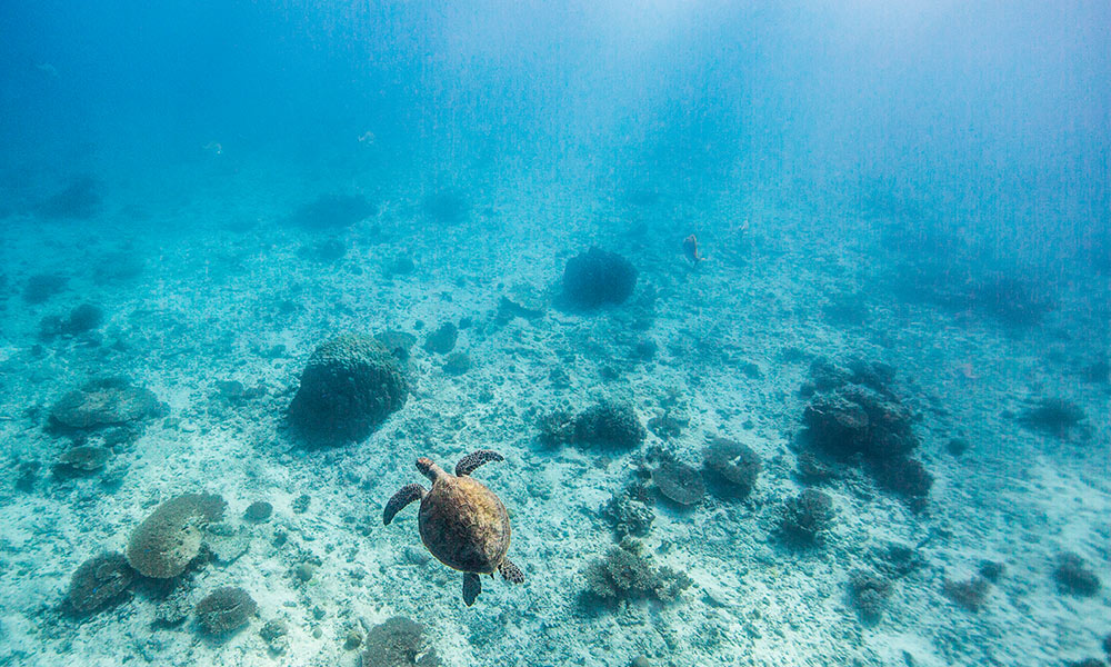 A green sea turtle (Chelonia mydas) swimming off Heron Island Research Station, Queensland © WWF / James Morgan
