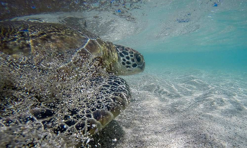 Green turtle being released at the 'Rivers to Reef to Turtles' field trip, Howick Islands, July/August 2015 © Gülsah Dogruer / Entox / WWF-Aus
