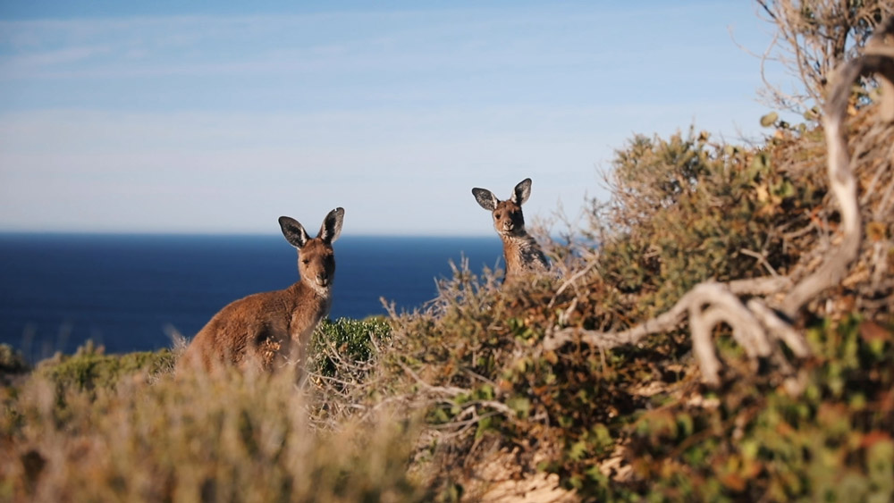 Grey kangaroos peeking out from a bush in Yorke Peninsula © WWF-Aus / Leonie Sii