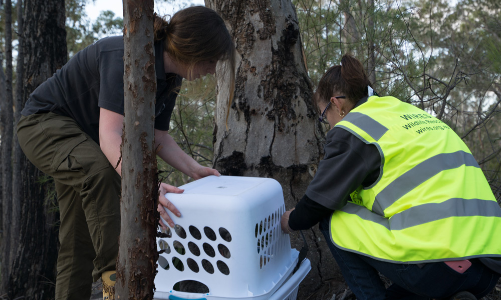 Wildlife rescuers Hannah Ryan and Tracey Maguire from WIRES releasing Blossom the koala (Phascolarctos cinereus) and her joey Petal into the wild at Campbelltown, NSW © WWF-Aus / Leonie Sii