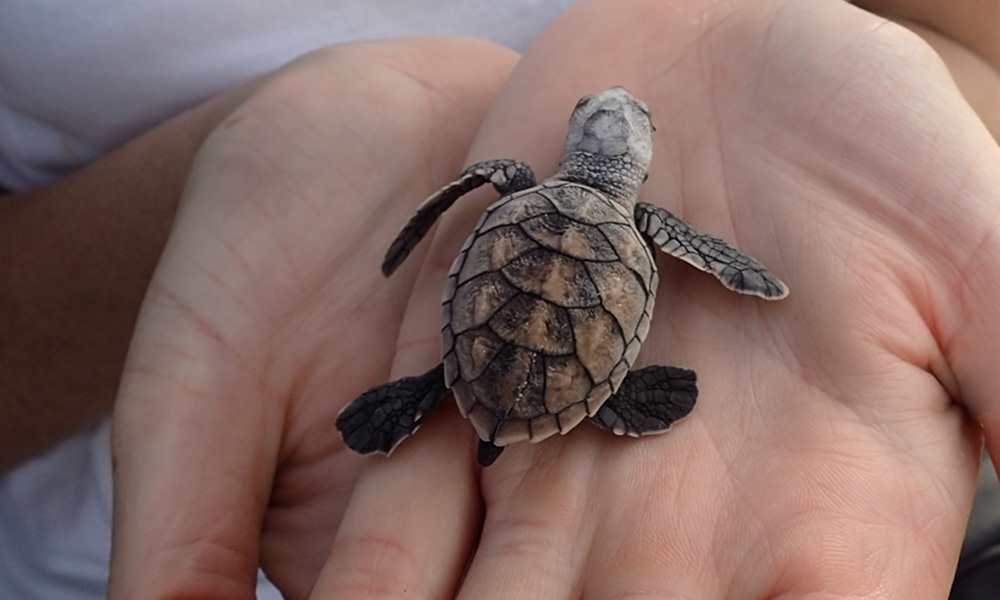 Hawksbill turtle hatchling being held © WWF-Aus / Christine Hof