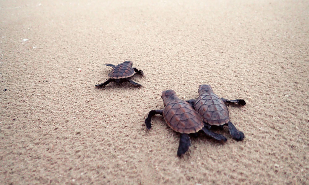 Hawksbill turtle hatchlings making their way to the ocean in Milman Island © WWF-Aus / Christine Hof