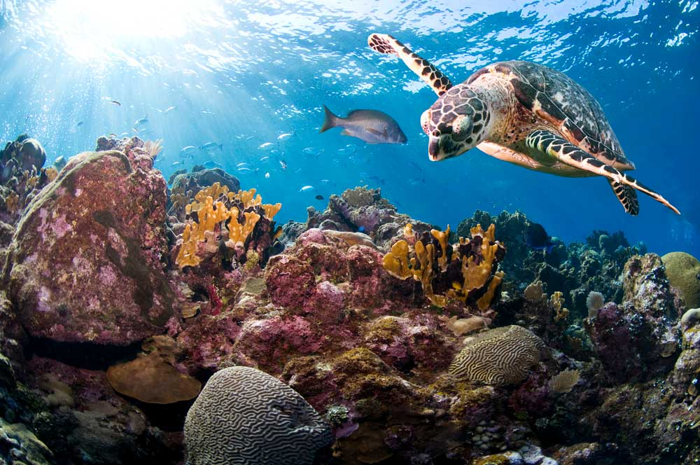 A hawksbill turtle (Eretmochelys imbricata) swimming above corals in Roatan, Bay Islands, Honduras © Antonio Busiello / WWF-US