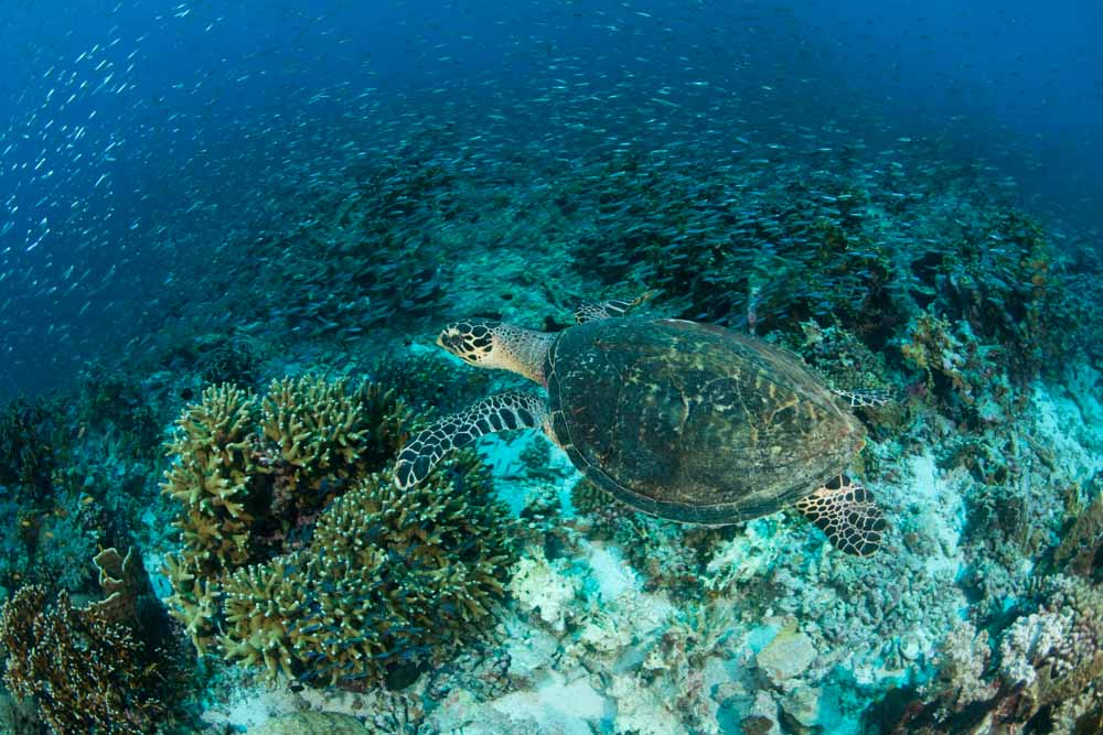 A hawksbill turtle swimming through a reef, Banda Neira, Indonesia © Jürgen Freund / WWF