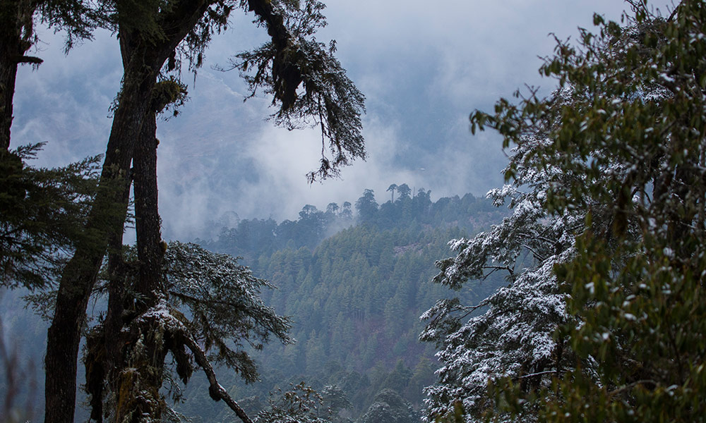 Portrait of Himalayan forest in wildlife Corridor Eight, Bhutan © Emmanuel Rondeau / WWF-UK