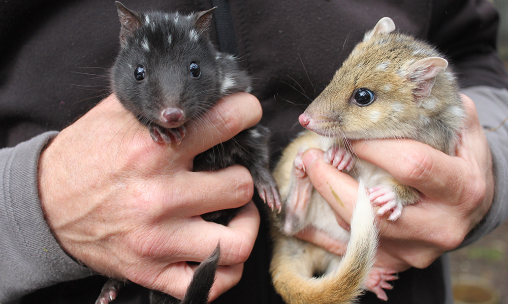 Two eastern quoll joeys at the Devils@Cradle conservation facility, Cradle Mountain, Tasmania © WWF-Aus / Madeleine Smitham