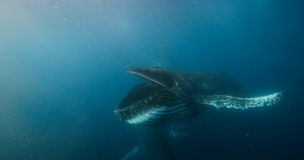 A humpback whales opens its cavernous mouth to engulf tones of water and krill in the rich seas off the coast of South Africa © Roger Horrocks / Silverback/Netflix