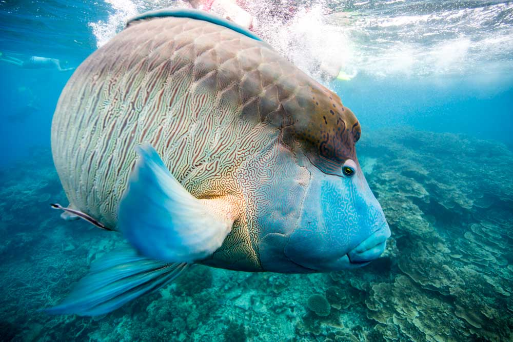 A humphead Maori wrasse (Cheilinus undulatus) on the Great Barrier Reef, Cairns © WWF / James Morgan