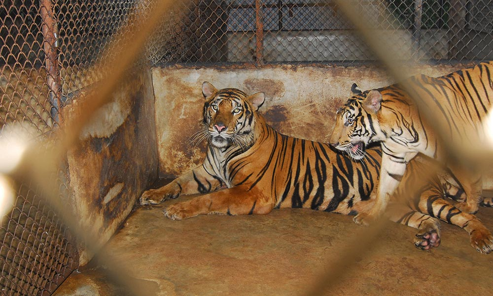 Indochinese tiger in cages, Pattaya, Thailand © Anton Vorauer / WWF