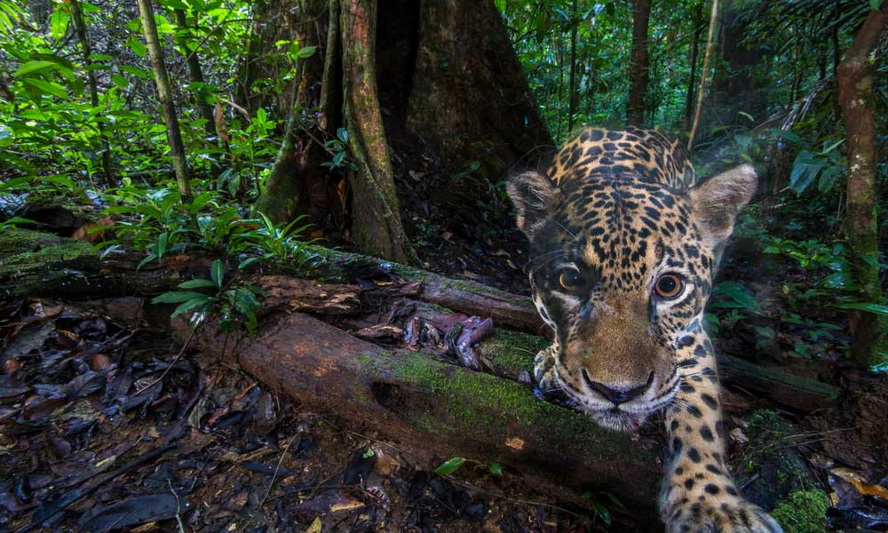 A jaguar (Panthera onca), photographed deep inside the Nouragues Natural Reserve, French Guiana © Emmanuel Rondeau / WWF France
