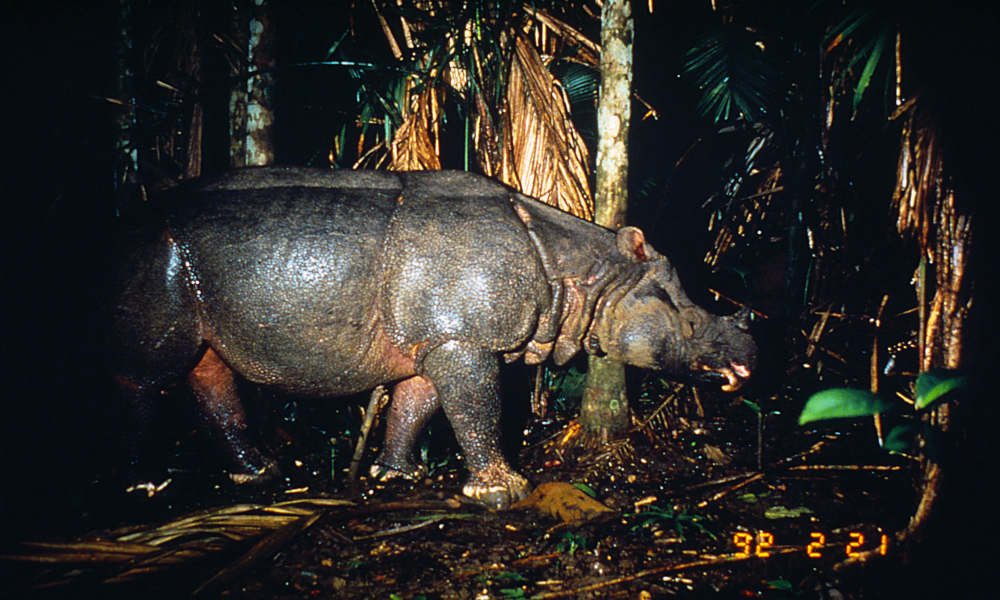 Javan rhinoceros (Rhinoceros sondaicus) photographed by a camera trap, Ujung Kulon National Park Java, Indonesia © Mike Griffiths / WWF