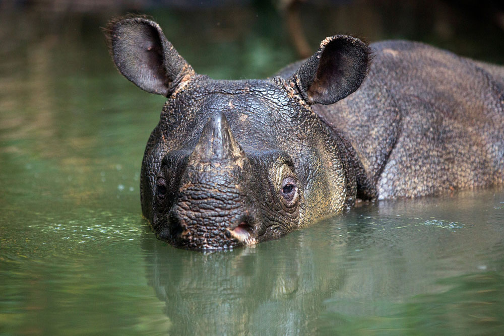 Javan rhino in Ujung Kulon National Park indonesia © Stephen Belcher Photography / WWF