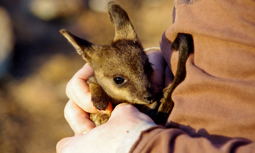 A volunteer holds a joey black-flanked rock-wallaby. Mt Caroline in Southwest Australia © Phil Lewis / WWF-Aus