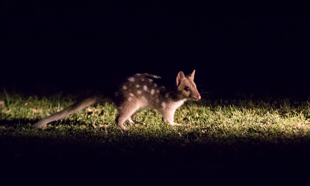 An eastern quoll juvenile born in the wild at Booderee National Park roams independently from its mother for the first time © Maree Clout / WWF-Aus