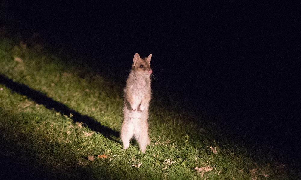 A juvenile eastern quoll stands on its hind legs at Booderee National Park © Maree Clout / WWF-Aus