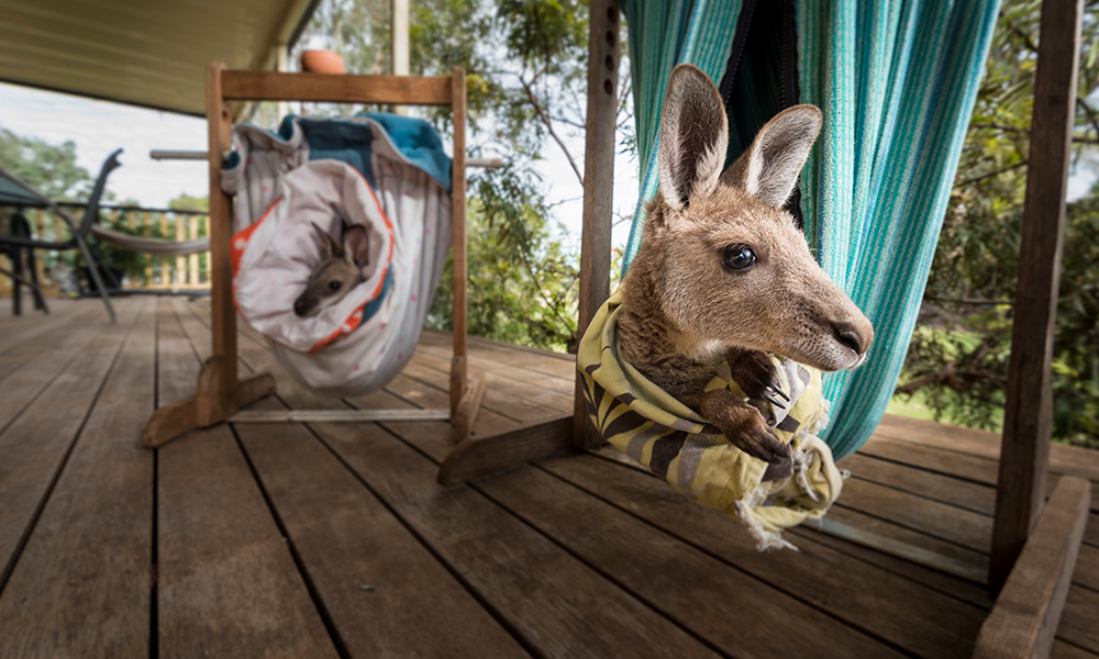 Kangaroo and wallaby joeys chilling out on Sonja\