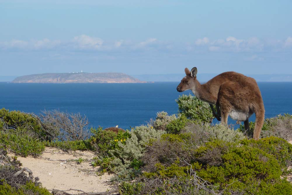 Yorke Peninsula - Kangaroo on West Cape © Raelene Lihou / WWF-Australia