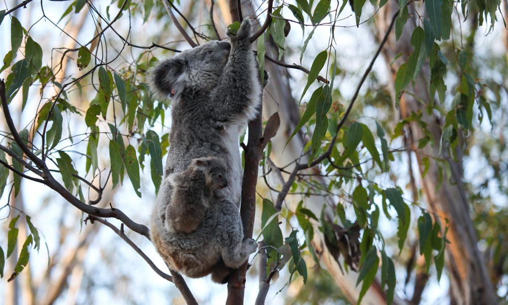 Cute koala baby Petal and mother Blossom climbing eucalyptus tree in Campbelltown, NSW © WWF-Aus / Alex Weinress