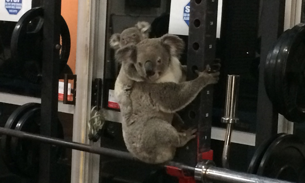 Koala and joey on gym equipment at The Results Room in Brisbane © Kiriana Giffin / The Results Room
