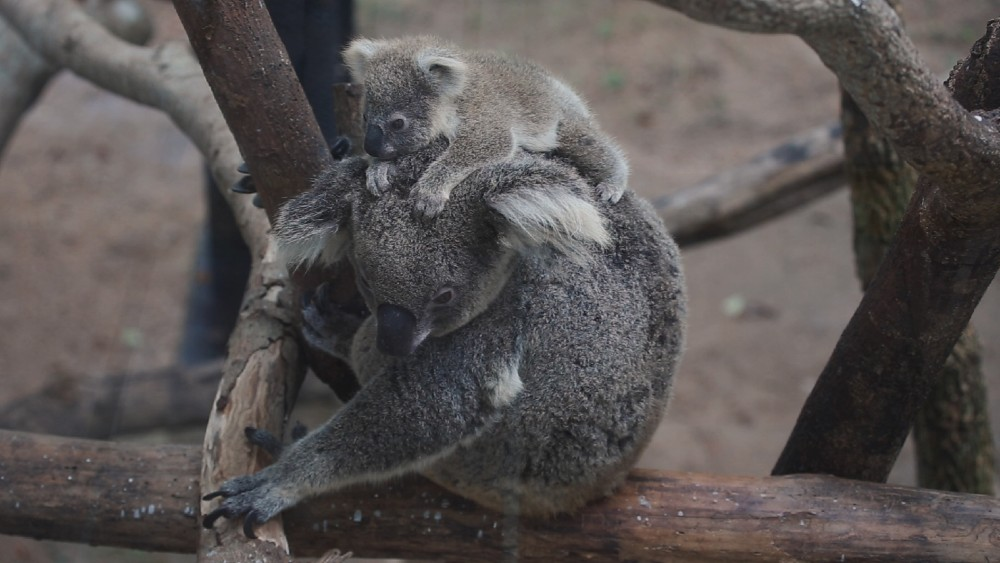 Koala and joey on log © Shutterstock / KAMONRAT / WWF