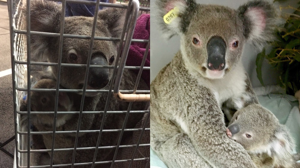 Koala and joey rescued after wandering into The Results Room gym in Brisbane © Kiriana Giffin / The Results Room
