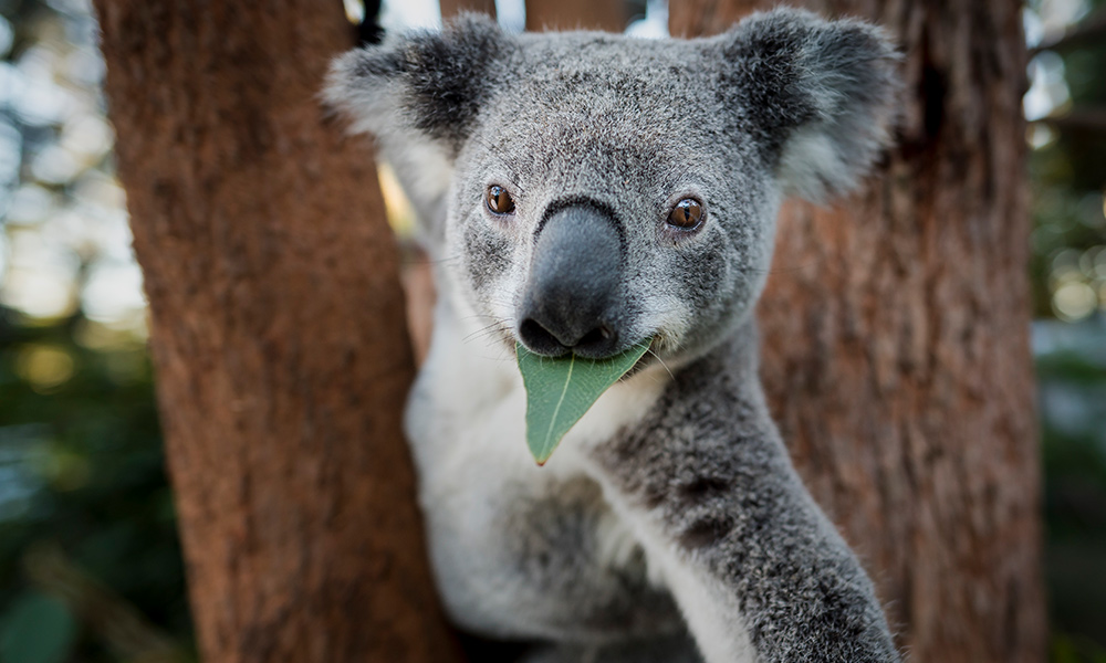 Koala And Wwf Innovating Together To Help Protect