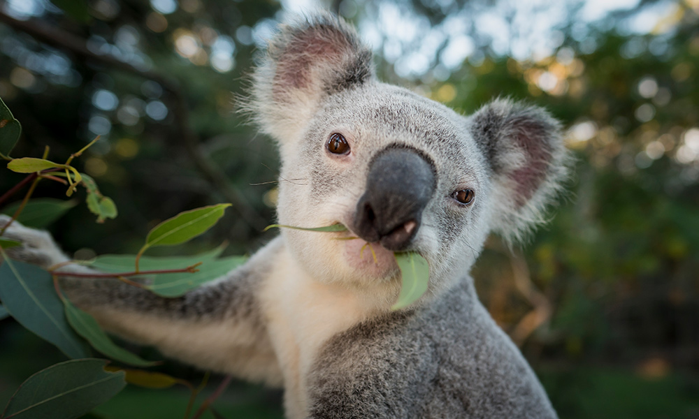 Koala (Phascolarctos cinereus) eating leaves, southeast Queensland © Doug Gimesy / WWF-Aus