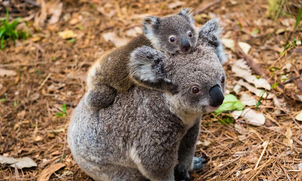 Koala mother and joey © istockphoto / Stanciuc