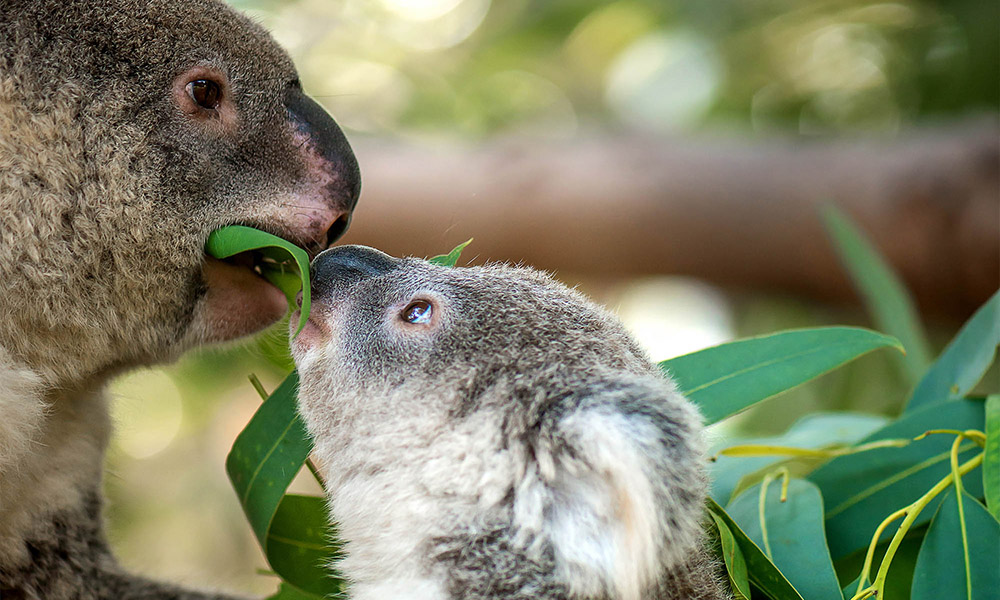 Koala joey (Phascolarctos cinereus) and mom eating Eucalyptus leaf © Shutterstock / dangdumrong / WWF