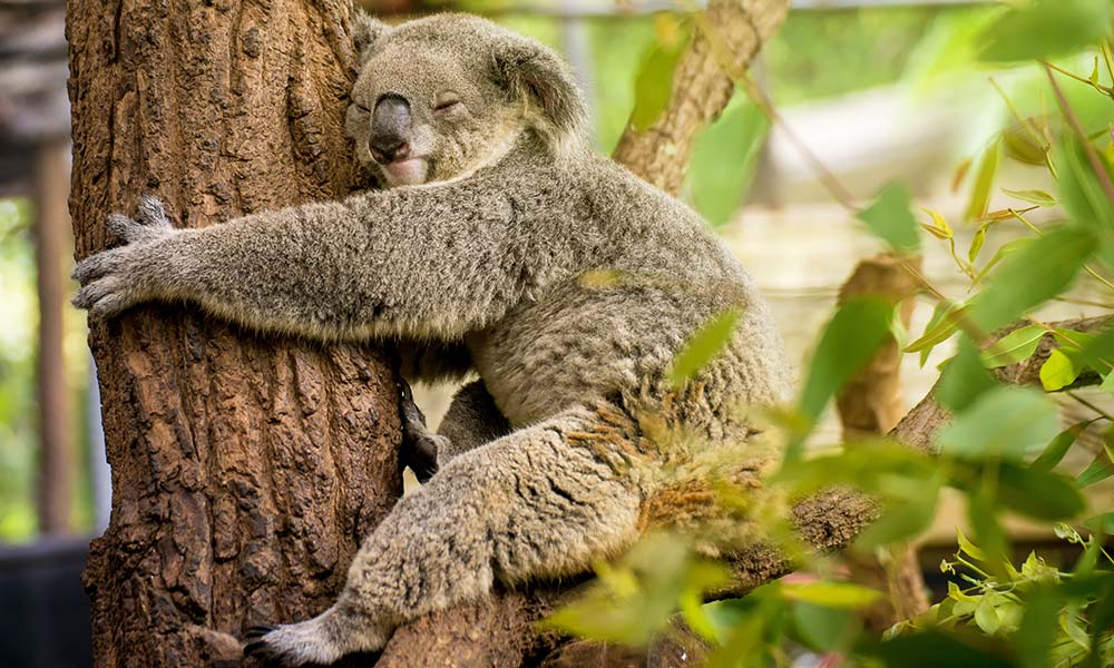 Sleeping koala (Phascolarctos cinereus) on eucalyptus tree © Shutterstock / martinho Smart / WWF