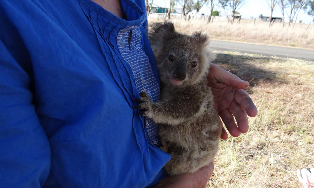 Rescued koala joey in hands © Clare Gover, Return to the Wild Inc. / WWF-Aus