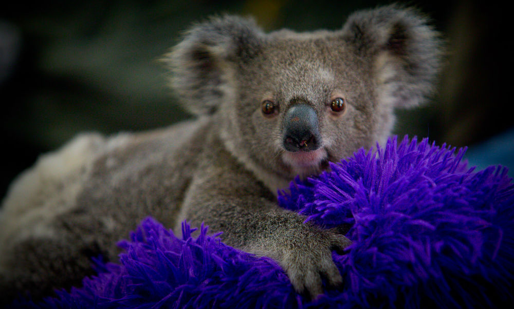 Orphaned koala joey on a purple cushion in southeast Queensland, 2017 © WWF-Aus / Patrick Hamilton