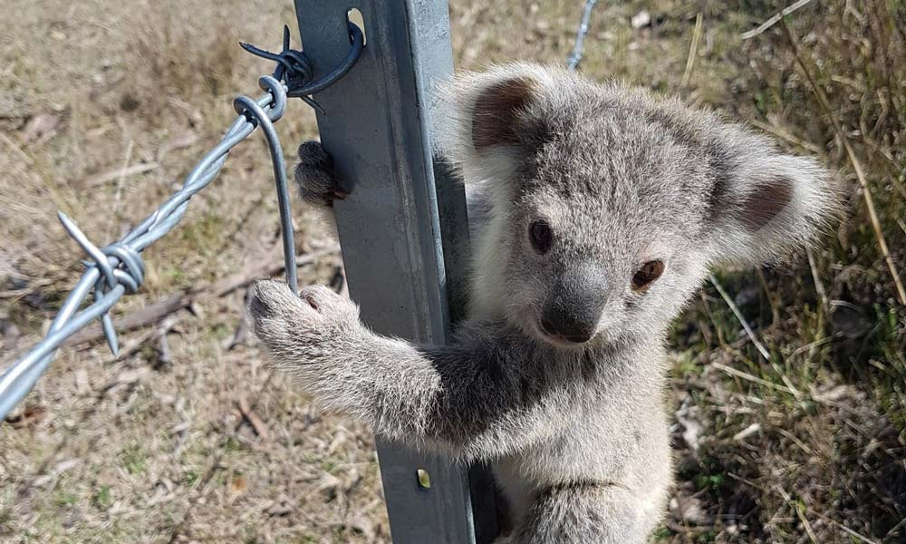 Koala joey found clinging to a steel fence at a family farm in Brisbane Valley, Queensland © Donald McConnel / WWF-Aus