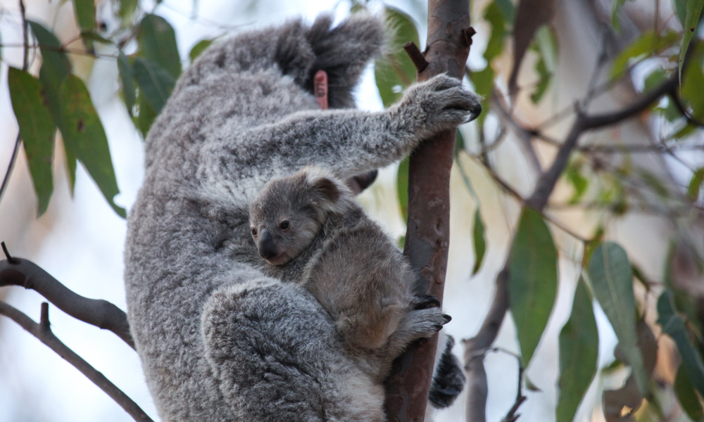 Blossom the koala (Phascolarctos cinereus) and her cute koala joey Petal on a eucalyptus tree after being released into the wild at Campbelltown, NSW © WWF-Aus / Alex Weinress
