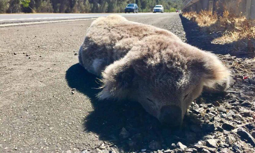 Deceased koala hit by a car and killed near Helensburgh, NSW © Help Save the Wildlife and Bushlands in Campbelltown