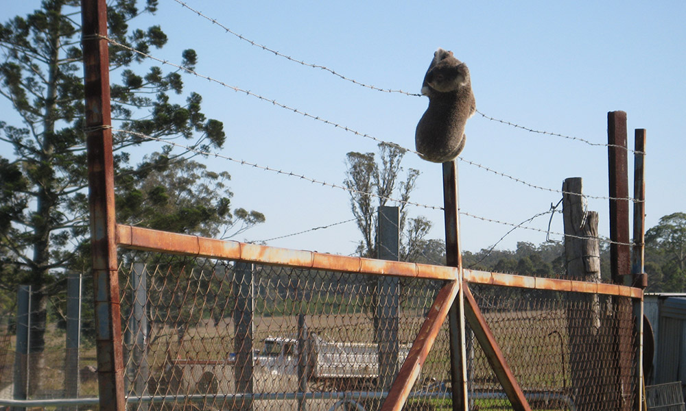 Koala clinging to a barbed-wire fence, southeast Queensland © Clare Gover, Return to the Wild Inc. / WWF-Aus