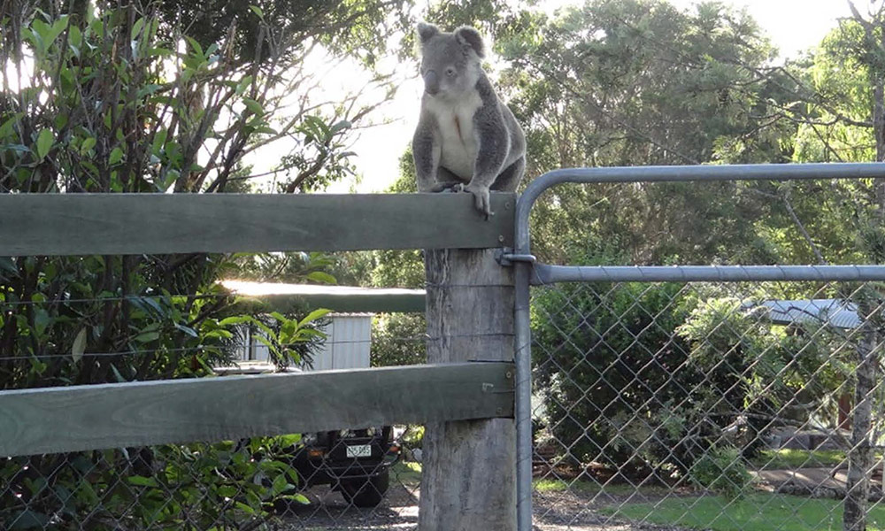 Koala on suburban fence, southeast Queensland © Clare Gover, Return to the Wild Inc. / WWF-Aus