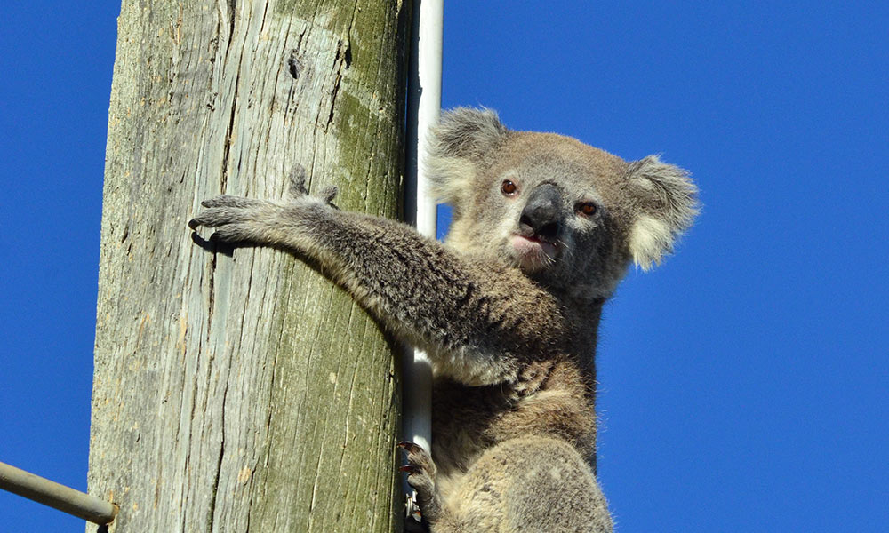 A young koala was stuck up a power pole in Darling Downs, Queensland © Clare Gover, Return to the Wild Inc. / WWF-Aus