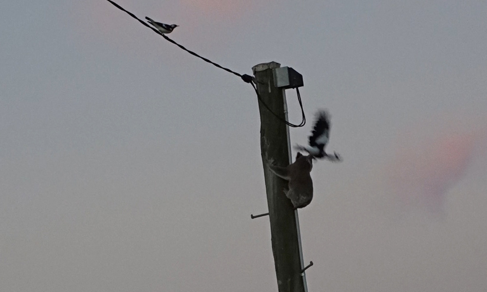 Magpie attacking a koala stuck up a power pole in Darling Downs, Queensland © Clare Gover, Return to the Wild Inc. / WWF-Aus