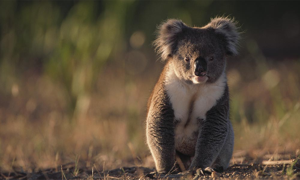 Koala sitting on the ground © Theo Allofs / Getty Images
