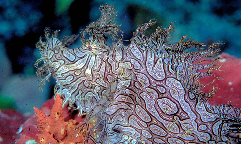Lacy scorpionfish, Papua New Guinea © Cat Holloway / WWF