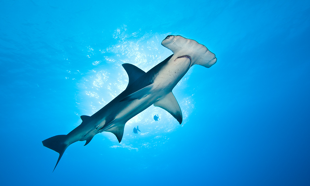 A large, great hammerhead shark (Sphyrna mokarran), about 4m in length, cruising © naturepl.com / Alex Mustard / WWF