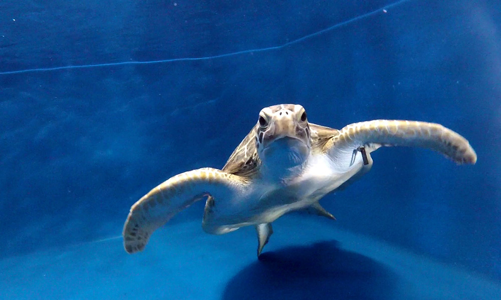 Rehabilitated green turtle swimming at Reef HQ Aquarium © WWF-Aus / Laurent Desarnaud