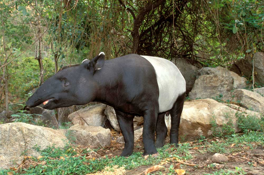 7 facts about tapirs - WWF-Australia - WWF-Australia