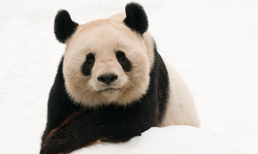 Male giant panda (Ailuropoda melanoleuca) lying on snow © naturepl.com / Edwin Giesbers / WWF