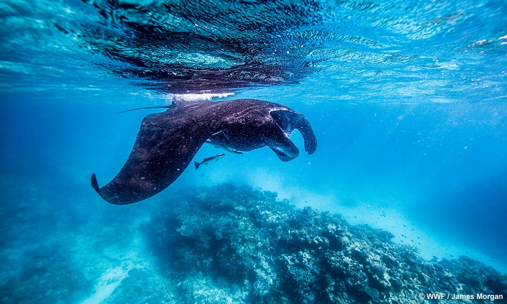 A manta ray (Manta Birostris) swims off Heron Island Research Station, Queensland © WWF / James Morgan