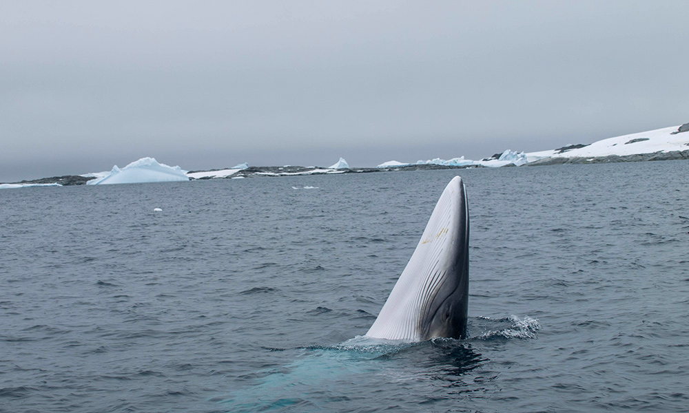 Antarctic minke whale (Balaenoptera bonaerensis) breaching, Antarctic Peninsula. Supplied by OneOcean Expeditions