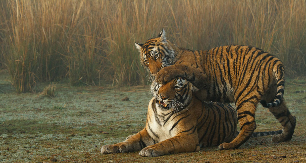 A mother tiger and her cub in Ranthambore National Park, India © Souvik Kundu / WWF
