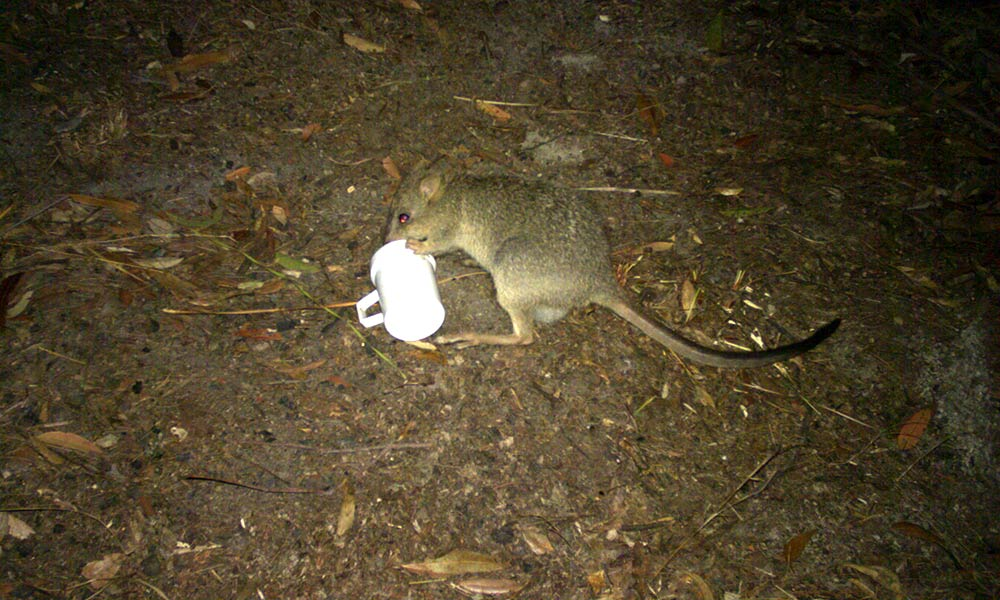 Northern bettong caught on sensor camera in Mount Lewis National Park, north Queensland © QPWS / JCU / WWF-Aus