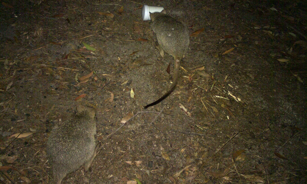 Northern bettongs caught on sensor camera in Mount Spurgeon National Park, north Queensland © WWF-Australia